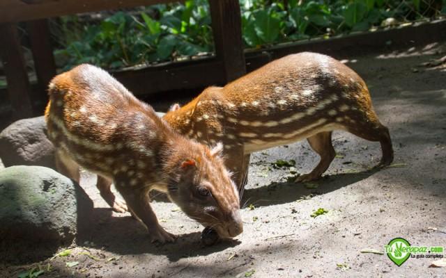 Tepezcuintles en cautiverio en un zoológico de especies locales en Santa Cruz Verapaz - Foto: Jorge M. Peláez Q.