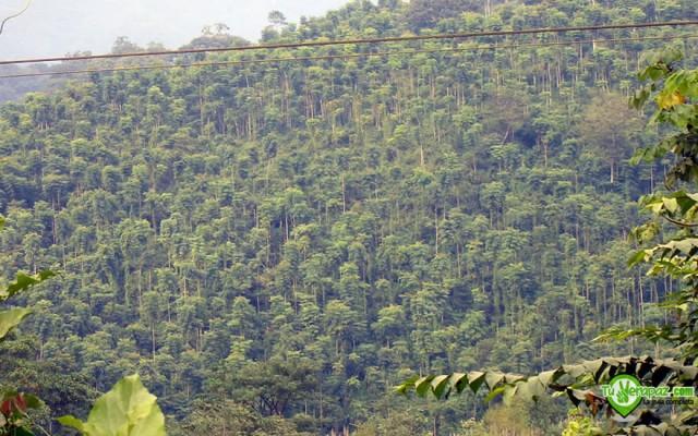 Plantación de Teca en Tucurú - Foto: Jorge M. Peláez Q.