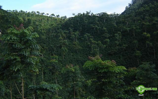 Plantación de café en Carchá - Foto: Jorge M. Peláez Q.